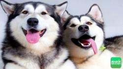 Kinh nghiệm nuôi chó Husky